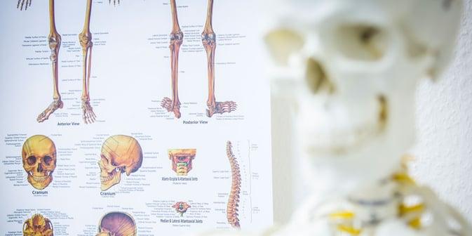 skelett körper